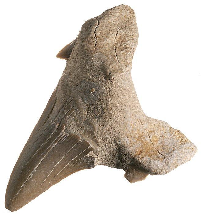 Žraločí zub velký